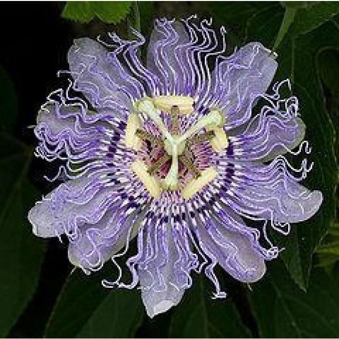 Passionflower 1kg